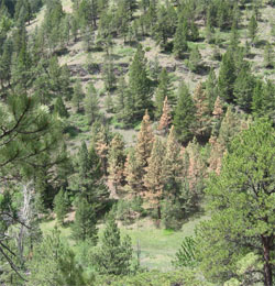 disease_pine_beetle